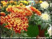 expozitia-flori-de-toamna-2012-gradina-botanica-iasi-06
